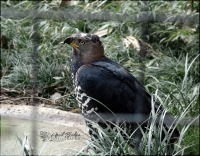NOBLE HAWK | Fort Worth Zoo; Fort Worth, Texas