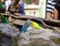 KISSING PARROTS | Fort Worth Zoo; Fort Worth, Texas